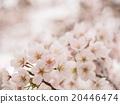 春天 春 花朵 20446474