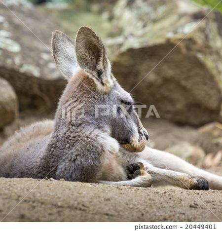 Kangaroo of Australia. Close up of head and face. 20449401