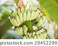 Bnana and Unripe Cultivar Bananas on Banana Tree 20452290
