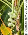 Bnana and Unripe Cultivar Bananas on Banana Tree 20452298