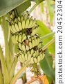 Bnana and Unripe Cultivar Bananas on Banana Tree 20452304