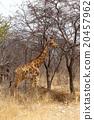 Giraffa camelopardalis in etosha 20457962
