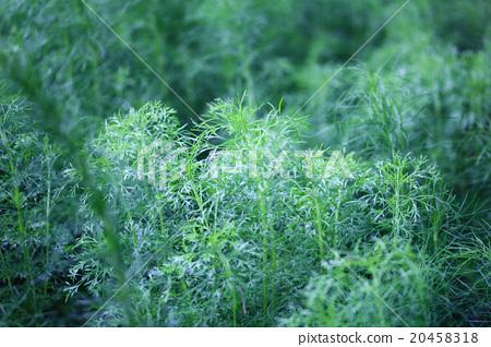 Close u of green dill 20458318