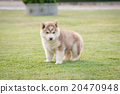 puppy urinating on green grass 20470948