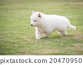 siberian husky puppy walking on green grass 20470950