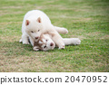 siberian husky puppies playing on green grass 20470952