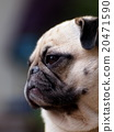 white fat cute lovely pug dog portraits profile 20471590