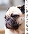 white fat cute lovely pug dog portraits profile 20471592