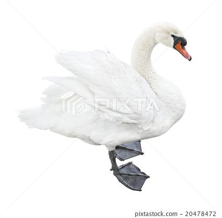 White mute swan (Cygnus olor) 20478472