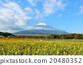 富士山 向日葵 向日葵園 20480352