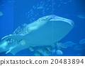 The whale shark of the Churaumi Aquarium 20483894