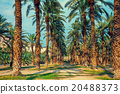Date palm trees plantation 20488373