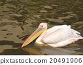 pelican, pelicans, bird 20491906