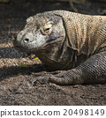 Komodo Dragon, the largest lizard in the world 20498149