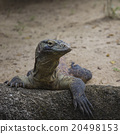 Komodo Dragon, the largest lizard in the world 20498153