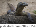 Komodo Dragon, the largest lizard in the world 20498154