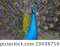 Portrait of beautiful peacock with feathers out.. 20498750