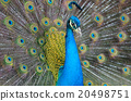 Portrait of beautiful peacock with feathers out.. 20498751