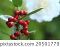 聖樹 水果 植物 20501779
