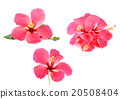 Pink Hibiscus flower isolated on  white background 20508404