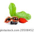 sweet chestnuts (Sterculia monosperma) on white  20508452