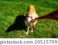 dog, dogs, cord 20515709