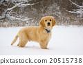 snowy, doggy, lapdog 20515738