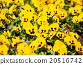 Yellow tricolor pansy, flower bed bloom  20516742