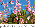 Beautiful peach blossom 20516754