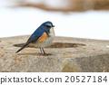 西伯利亞bluechat 冬候鳥 藍鳥 20527184