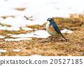 西伯利亞bluechat 冬候鳥 藍鳥 20527185