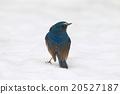 西伯利亞bluechat 冬候鳥 藍鳥 20527187
