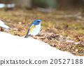 西伯利亞bluechat 冬候鳥 藍鳥 20527188