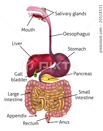Anatomical Diagram Digestive Tract 20528531