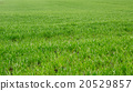 grass background green 20529857