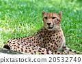 獵豹 貓科 動物 20532749
