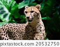 獵豹 貓科 兇猛的野獸 20532750