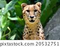 獵豹 貓科 動物 20532751