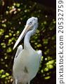 鹈鹕 鲸头鹳 鸟 20532759