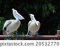 鹈鹕 鲸头鹳 鸟 20532770