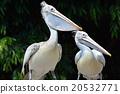 鹈鹕 鲸头鹳 鸟 20532771