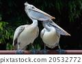 鹈鹕 鲸头鹳 鸟 20532772