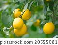 การเพาะปลูกมะนาวภายในประเทศ (Setouchi lemon) - ฮิโรชิม่าเคนโอโนมิจิเซดะดะ 20555081