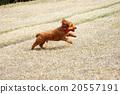 健康的貴賓犬 20557191