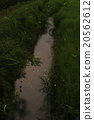 หิ่งห้อยเก็นจิเต้นในสายน้ำ 20562612