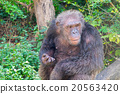 gorilla 20563420