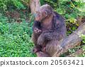 gorilla 20563421