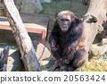 gorilla 20563424