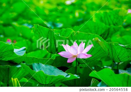 台灣台南白河蓮花Asia Taiwan Lotus 20564558