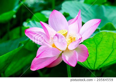 台灣台南白河蓮花Asia Taiwan Lotus 20564559